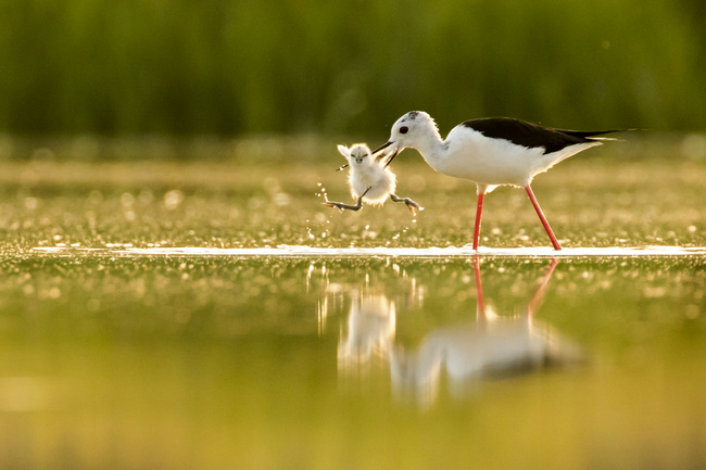 Black-winged Stilt image