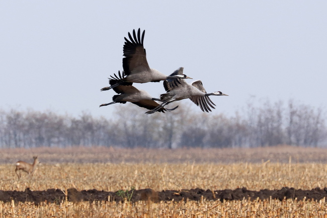 Common Crane pic