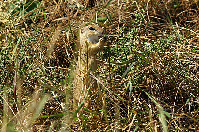 European ground squirrel (Spermophilus citellus) Photo by Károly Teleki
