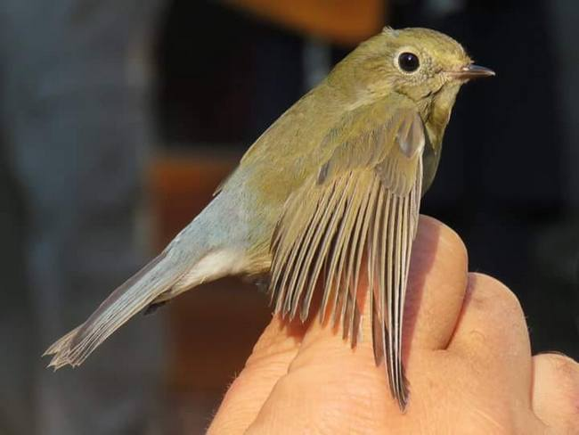 Red-flanked Bluetail pic