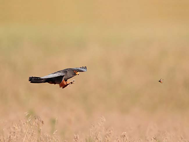 Red-footed falcon (Falco vespertinus) photo by Helge Sorensen
