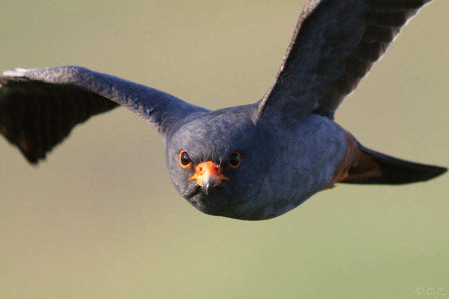Red-footed Falcon female pic