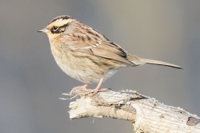 Siberian Accentor pic