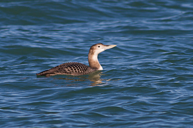 Yellow-billed Loon pic