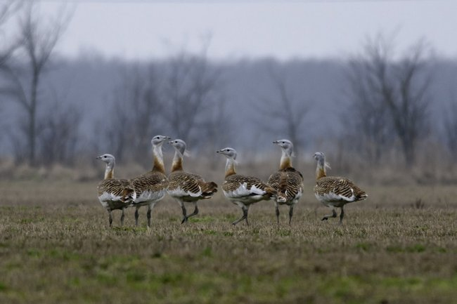 Great Bustards pic