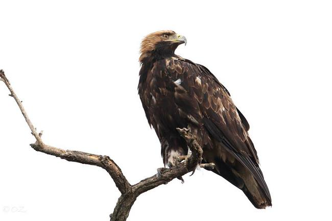 Imperial Eagle pic