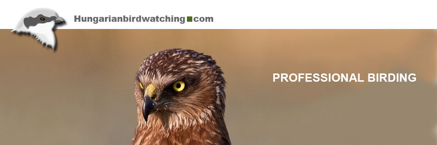 Western Marsh Harrier (
